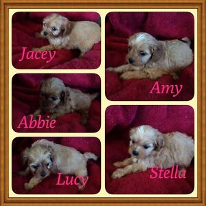 Cavoodle puppies Mooloolah Valley Caloundra Area Preview