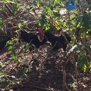 Black leghorn pair Bringelly Camden Area Preview