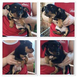 Kelpie pups in Goulburn Wednesday 31st only. Goulburn Goulburn City Preview