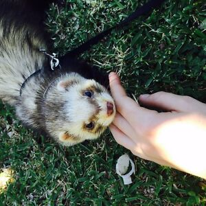 Ferret and cage Petersham Marrickville Area Preview