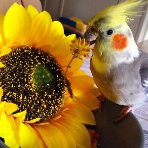 Lost cockatiel from Braddon Henry Braddon North Canberra Preview
