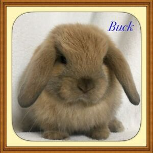 Mini lop pure bred rabbit Mindarie Wanneroo Area Preview