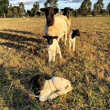 Purebred Dorper Lambs Traralgon Latrobe Valley Preview