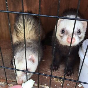 Ferrets for mating Carramar Wanneroo Area Preview