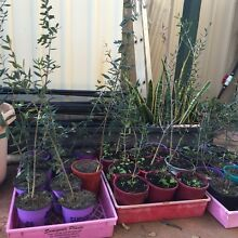 Olive Trees Thornlie Gosnells Area Preview