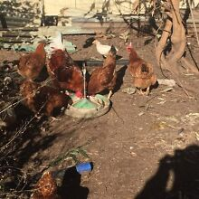 Chickens for sale Lidcombe Auburn Area Preview
