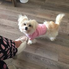 8mth old Maltese x Chihuahua Tamborine Ipswich South Preview