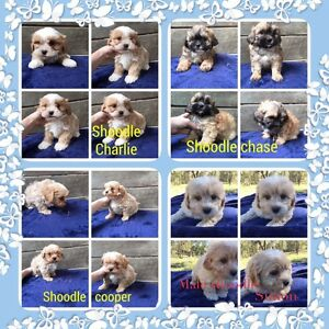 Shoodle puppies Mooloolah Valley Caloundra Area Preview