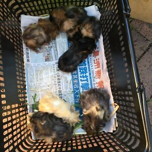 Selling lots of diff Guinea pigs all male Cambridge Gardens Penrith Area Preview