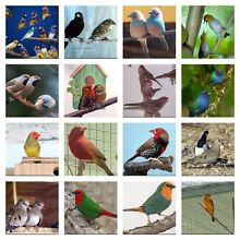 Finches for sale !!! Padstow Bankstown Area Preview