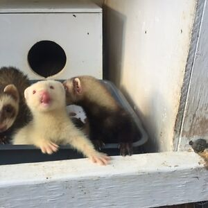 Young ferrets Clybucca Kempsey Area Preview