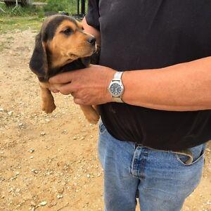Female fox hound pup Wynyard Waratah Area Preview