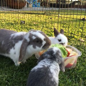 Mini lop rabbit free to a good home Avalon Pittwater Area Preview