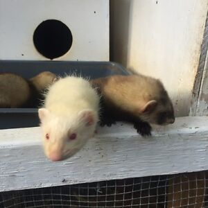 Ferrets Clybucca Kempsey Area Preview