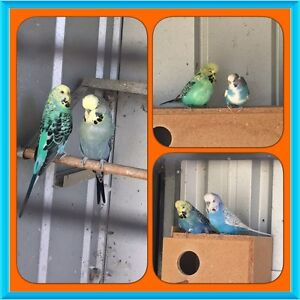 6 Budgies (3 pairs) for $100, most club size. Australind Harvey Area Preview