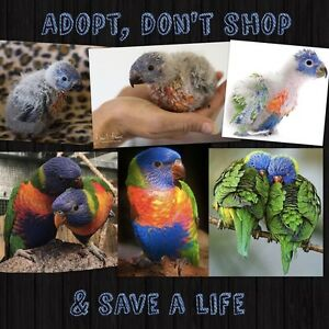 YOUNG RAINBOW LORIKEETS FOR ADOPTION Carine Stirling Area Preview