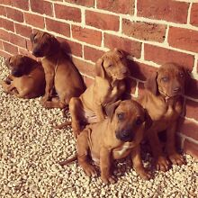 Pedigree Papered Rhodesian Ridgeback puppies 8 weeks old and ready! Scotts Creek Upper Hunter Preview