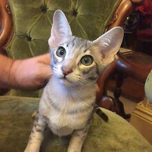 Oriental Kittens Kapunda Gawler Area Preview