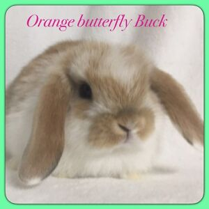 Pure bred mini lop rabbit Mindarie Wanneroo Area Preview