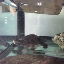 Two beautiful Murray River Turtles look for new home Paradise Point Gold Coast North Preview