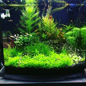 Staurogyne Repens (live aquarium plants) Belfield Canterbury Area Preview