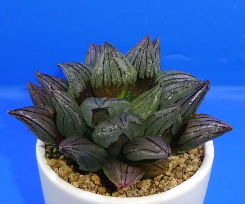 Haworthia atrofusca