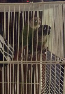Greencheek conure pair Helensvale Gold Coast North Preview