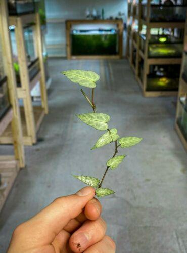 Cissus amazonica - Dart Frog VIVARIUM / Terrarium Plant - Stem Cutting