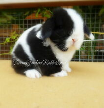 Stunning & Unique Quality Tame Mini Lop Rabbits Available Marleston West Torrens Area Preview
