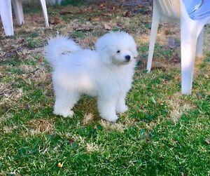 18 weeks old female toy poodle