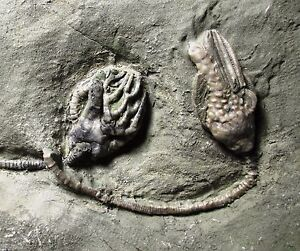 Nice Crawfordsville crinoid - Macrocrinus + Cyathocrinites - Indiana fossil