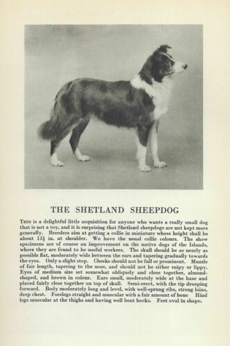 Shetland Sheepdog - 1931 Vintage Dog Print - Breed Description - MATTED