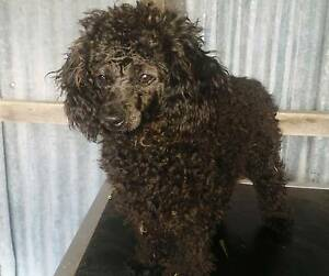 Purebred toy poodle Tenterfield Tenterfield Area Preview