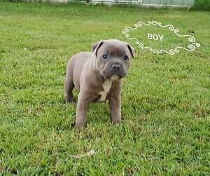 Staffordshire bullterriers ( english staffies) for sale Kippa-ring Redcliffe Area Preview