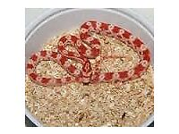baby corn snakes