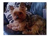 George a male Yorkie is looking for a loving home