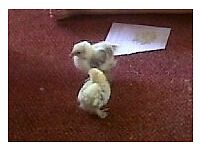 2 x Pekin Bantam chicks, Free to a good home