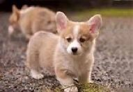 Looking for a Corgi Puppy