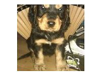 pedigree cockerspaniel girl puppy ready to leave on 18th july micro chipped wormed