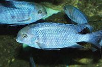 FISH - BLUE DOLPHIN CICHLIDS
