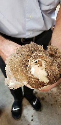 30 Fertile Coturnix Quail Hatching Eggs Silver Rosetta Tuxedo English