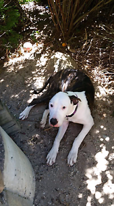 Great Dane x American bulldog Soldiers Point Port Stephens Area Preview