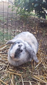 Bunny for sale fantastic pet Invergordon Moira Area Preview