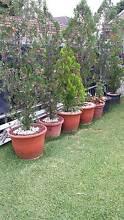 PLANTS galore for sale Westmead Parramatta Area Preview