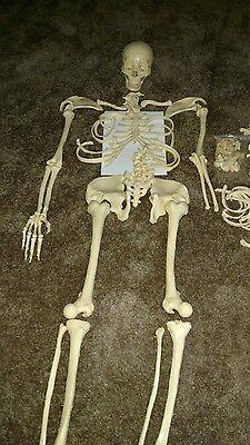 Used Life Size Human Anatomical Anatomy Skeleton Lab Medical Model 5'11