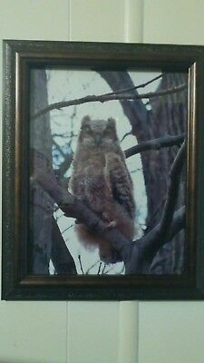 Great Horned Owl Yearling Owl Photo 8-1/2