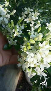 Orange Jasmine tree's, Jasmine plants,
