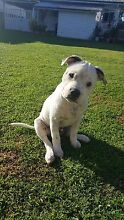 Pure bred English Staffordshire Bull Terrier (male) Bald Hills Brisbane North East Preview