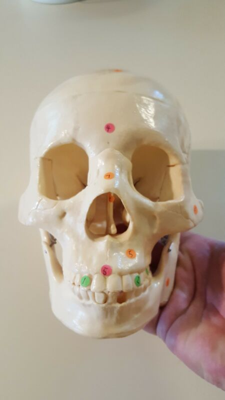 Model Anatomy Educational Professional Medical Life Size Skull Used