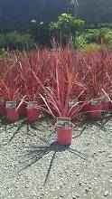 SALE CORDYLINE ELECTRIC PINK CLUMPING $22 CHEAP GOLD COAST NURSER Mudgeeraba Gold Coast South Preview